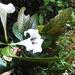 Rothmannia macrophylla - Photo (c) Reuben C. J. Lim, algunos derechos reservados (CC BY-NC-SA)