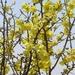Rhigozum brevispinosum - Photo (c) rpmundo, algunos derechos reservados (CC BY-NC)