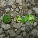 Pternandra echinata - Photo (c) Min Sheng Khoo, algunos derechos reservados (CC BY-NC-SA)
