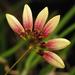 Bulbophyllum flabellum-veneris - Photo (c) Michael Schmidt, some rights reserved (CC BY-NC-SA)