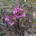 Pedicularis novaiae-zemliae - Photo (c) Alexander Yakovlev, algunos derechos reservados (CC BY-NC)