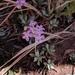 Primula specuicola - Photo (c) Craig Ontl, alguns direitos reservados (CC BY-NC)