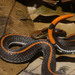 Banded Malaysian Coralsnake - Photo (c) Alex Figueroa, some rights reserved (CC BY-NC-SA)