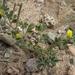 Ottleya strigosa - Photo (c) Jim Morefield, algunos derechos reservados (CC BY)
