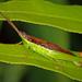 Leptysminae - Photo (c) David Cappaert, algunos derechos reservados (CC BY-NC)