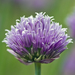 Chives - Photo (c) Usually Melancholy, some rights reserved (CC BY-NC-SA)