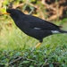 Great Myna - Photo (c) J. Maughn, some rights reserved (CC BY-NC), uploaded by James Maughn