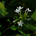 Wild Leadwort - Photo (c) Dinesh Valke, some rights reserved (CC BY-NC-SA)