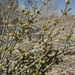 Ephedra torreyana - Photo (c) Jim Morefield, algunos derechos reservados (CC BY)