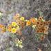 """Heliotropium floridum - Photo (c) """"Juan de los Zorros"""",  זכויות יוצרים חלקיות (CC BY-NC)"""