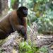 Macaco Barrigudo - Photo (c) GregoireD, algunos derechos reservados (CC BY-NC-SA)