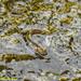 Andamia tetradactylus - Photo (c) Kinmatsu Lin, algunos derechos reservados (CC BY-NC)