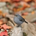 Plumbeous Water Redstart - Photo (c) PeiWen Chang, some rights reserved (CC BY-NC-SA)