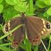 Dira clytus clytus - Photo (c) Colin Ralston, algunos derechos reservados (CC BY-NC)