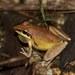 Litoria nigrofrenata - Photo (c) FroggyBeth, μερικά δικαιώματα διατηρούνται (CC BY-NC-SA)