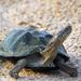 Pelomedusidae - Photo (c) Arno Meintjes, alguns direitos reservados (CC BY-NC)