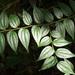 Ziziphus oenopolia - Photo (c) Tony Rodd, algunos derechos reservados (CC BY-NC-SA)