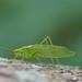 Northern Bush Katydid - Photo (c) David Kaposi, some rights reserved (CC BY-NC)