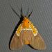 Asota speciosa - Photo (c) Bernard DUPONT,  זכויות יוצרים חלקיות (CC BY-NC-SA)