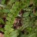 Lindsaea orbiculata - Photo (c) 石川 Shihchuan, some rights reserved (CC BY-NC-SA)