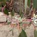 Eucalyptus pauciflora pauciflora - Photo (c) Wayne Martin, osa oikeuksista pidätetään (CC BY-NC)