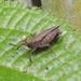 Phaesticus mellerborgi - Photo (c) anukma, some rights reserved (CC BY)