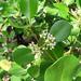 Scyphiphora hydrophylacea - Photo (c) wan_hong, algunos derechos reservados (CC BY-NC-SA)