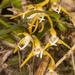 Maxillaria ringens - Photo (c) Keith Martin-Smith, algunos derechos reservados (CC BY-NC-ND)