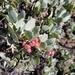 Hoary Manzanita - Photo (c) miscelena, some rights reserved (CC BY-NC)