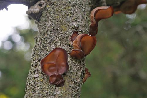 Jelly Tree Ear