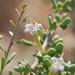 Frutilla - Photo (c) Mojave Wildflowers, algunos derechos reservados (CC BY-NC-ND)