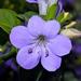 Blue Bushviolet - Photo (c) Bernard DUPONT, some rights reserved (CC BY-NC-SA)