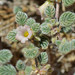 Tiquilia plicata - Photo (c) Mojave Wildflowers, algunos derechos reservados (CC BY-NC-ND)
