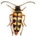 Typocerus sinuatus - Photo (c) Mike Quinn, Austin, TX,  זכויות יוצרים חלקיות (CC BY-NC)