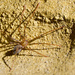 Large-clawed Spiders - Photo (c) Kathrin & Stefan Marks, some rights reserved (CC BY-NC-ND)
