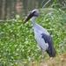Picotenaza Asiático - Photo (c) J. Maughn, algunos derechos reservados (CC BY-NC), uploaded by James Maughn