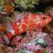 Madeira Scorpionfish - Photo (c) Stefan, some rights reserved (CC BY-NC)