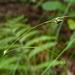 Carex trisperma - Photo (c) Rob Curtis, algunos derechos reservados (CC BY-NC-SA)