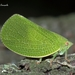 Green Cone-headed Planthopper - Photo (c) Marcello Consolo, some rights reserved (CC BY-NC-SA)