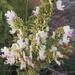Coleus calycinus - Photo (c) Casper van Zyl, μερικά δικαιώματα διατηρούνται (CC BY-NC)