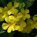 Reinwardtia indica - Photo (c) Dinesh Valke, algunos derechos reservados (CC BY-NC-ND)