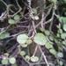 Streblus heterophyllus - Photo (c) Nicholas Mayne, algunos derechos reservados (CC BY-NC)