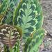 Goeppertia veitchiana - Photo (c) Dick Culbert, osa oikeuksista pidätetään (CC BY)