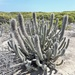 Lophocereus gatesii - Photo (c) G.M.E., some rights reserved (CC BY-NC)