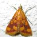 Pyrausta phoenicealis - Photo (c) Botswanabugs, algunos derechos reservados (CC BY-NC)