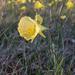 Hoop-petticoat Daffodil - Photo (c) Basotxerri, some rights reserved (CC BY-SA)