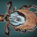 Ixodidae - Photo (c) Chris Moody, alguns direitos reservados (CC BY-NC)