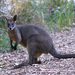 Swamp Wallaby - Photo (c) David Cook, some rights reserved (CC BY-NC)