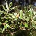 Leptospermum grandifolium - Photo (c) Wayne Martin, osa oikeuksista pidätetään (CC BY-NC)