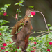 Pallas' Squirrel - Photo (c) Arnold Wijker, some rights reserved (CC BY-NC)
